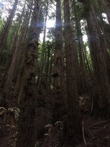 Redwoods-20